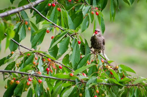 Oiseau perché sur un cerisier