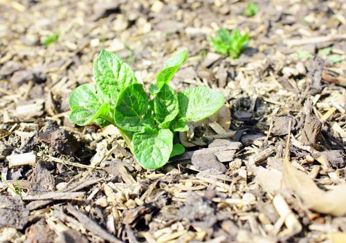 Plant de pomme de terre avec paillage de jardin en bois