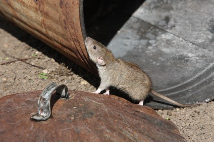 comment identifier et se d barrasser des rats habitatpresto. Black Bedroom Furniture Sets. Home Design Ideas