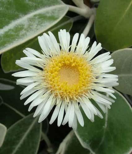 Rock daisy
