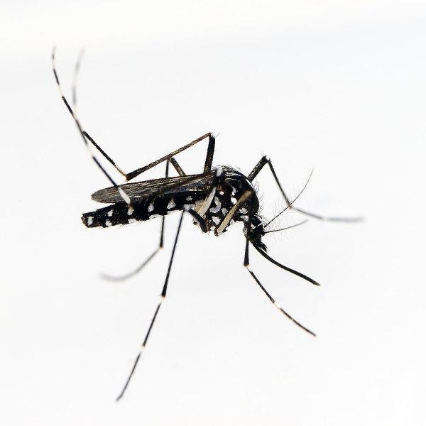 Alerte Aux Moustiques Tigres Comment Les Reconnaitre Et S