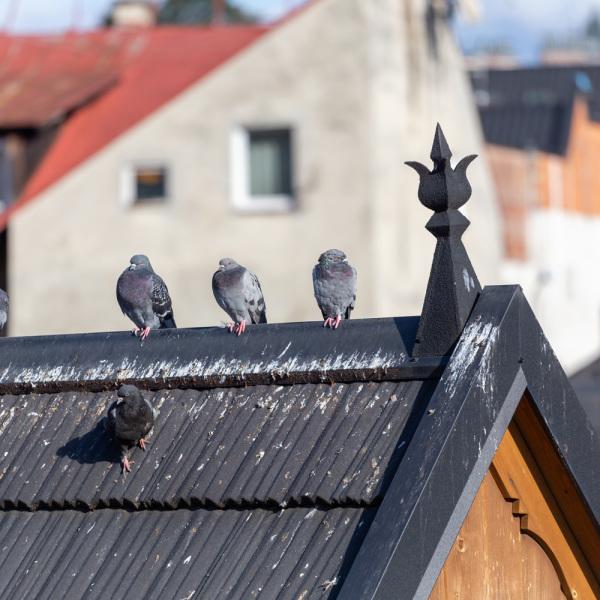 Comment Faire Fuir Les Oiseaux De Chez Vous Efficacement
